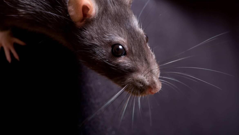 Szczur – jak rozpoznać jego obecność i się go pozbyć?
